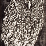 BIRDS.Otus Asio (n A)